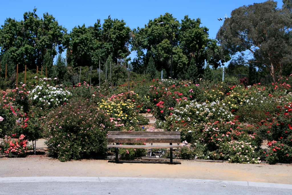 A picture of Municipal Rose Garden in San Jose, CA.